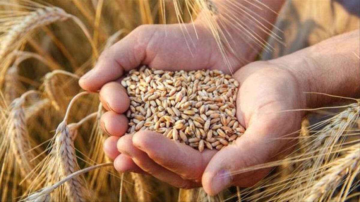 sert buğday